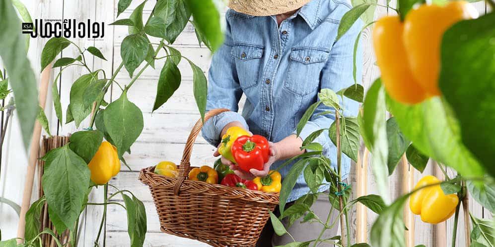 دراسة جدوى مشروع زراعة الفلفل الملون في الصوب الزراعية
