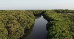 استعادة غابات المانجروف