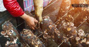 مشروع زراعة المشروم